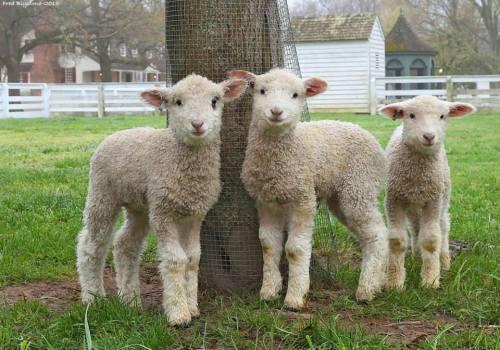 CW Lambs